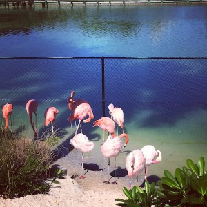 Pretty pink flamingos at Fisher Island's aviary